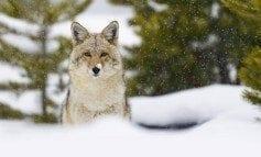 Population et gestion du coyote au Canada