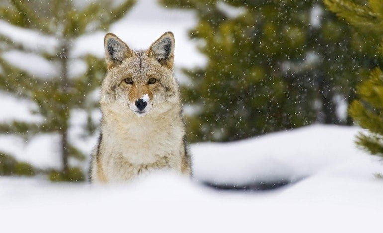 Coyote Population and Management in Canada