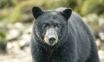 Black Bear population in Canada