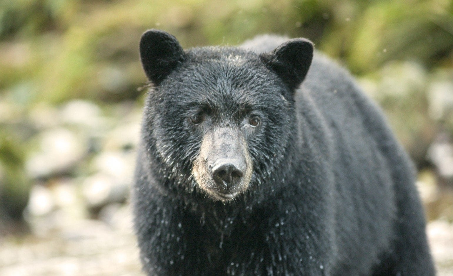 Black Bear population in Canada - Fur Institute of Canada ... - photo#39