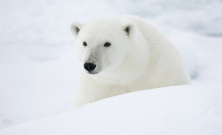 Polar Bear Population and Management
