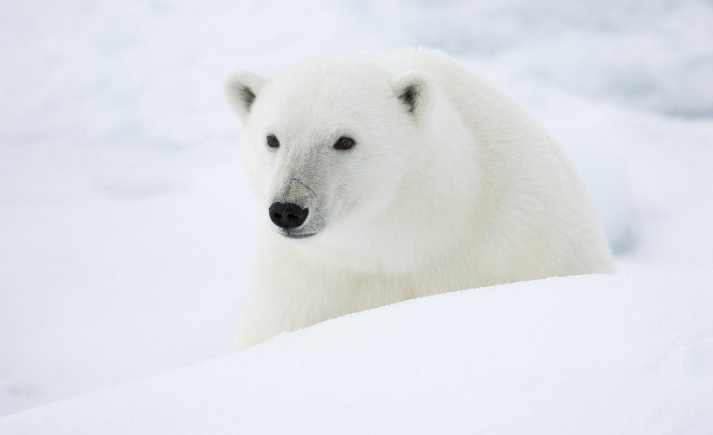 polar bear population and management