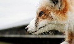 Fox Farming