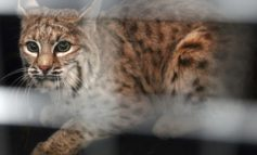 Colorado wildlife commissioners reject ban on trapping and trophy hunting of bobcats - DenverPost