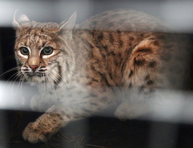 Colorado wildlife commissioners reject ban on trapping and trophy hunting of bobcats – DenverPost