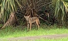 After rash of coyote sightings, city is told: Learn to live with them - SOUTH FLORIDA SUN SENTINEL