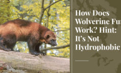 How Does Wolverine Fur Work? Hint: It's Not Hydrophobic - Truth About Fur blog highlight