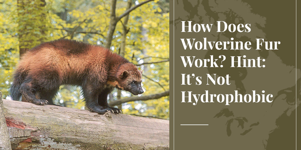 How Does Wolverine Fur Work? Hint: It's Not Hydrophobic – Truth About Fur blog highlight