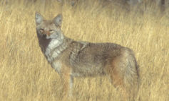 Coyotes remain a popular draw for Iowa hunters and trappers - RadioIowa