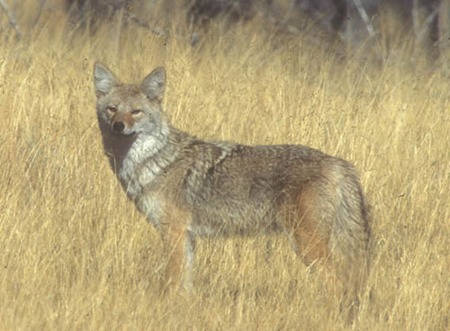 Coyotes remain a popular draw for Iowa hunters and trappers – RadioIowa