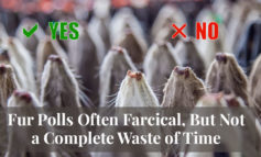 ICYMI - Truth About Fur Blog Highlight - Fur Polls Often Farcical, But Not a Complete Waste of Time