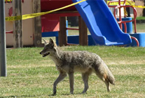 Urban Coyotes Are Literally Full of Garbage