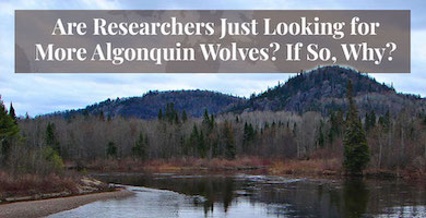 Are Researchers Just Looking for More Algonquin Wolves? If So, Why?